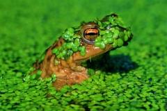Aleksander Čufar - Frog-1