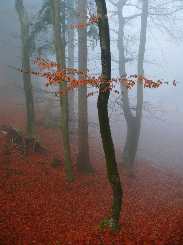 Bogdan Bricelj  - Beech tree in the Mist