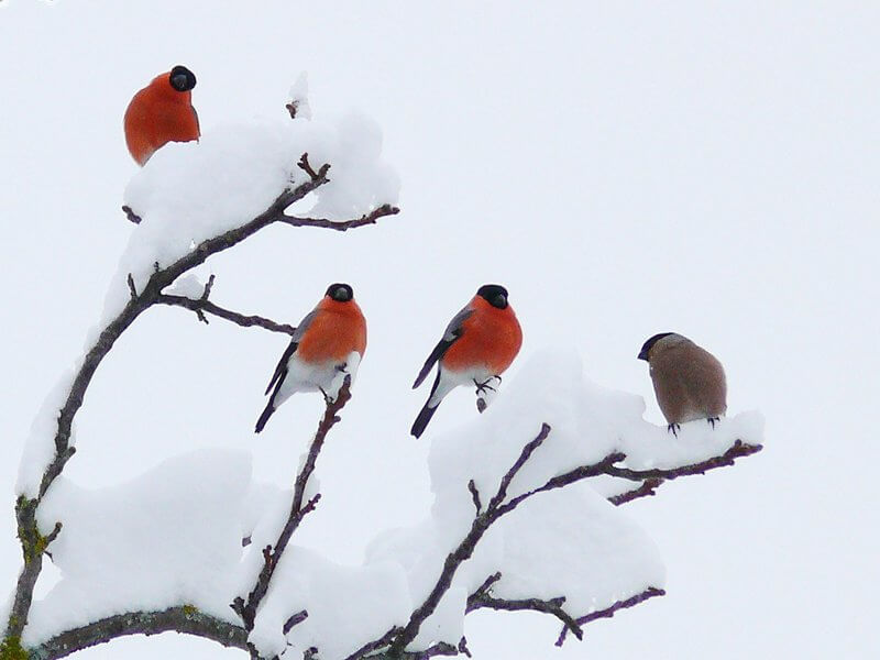 Bogdan Bricelj - Four Bullfinches