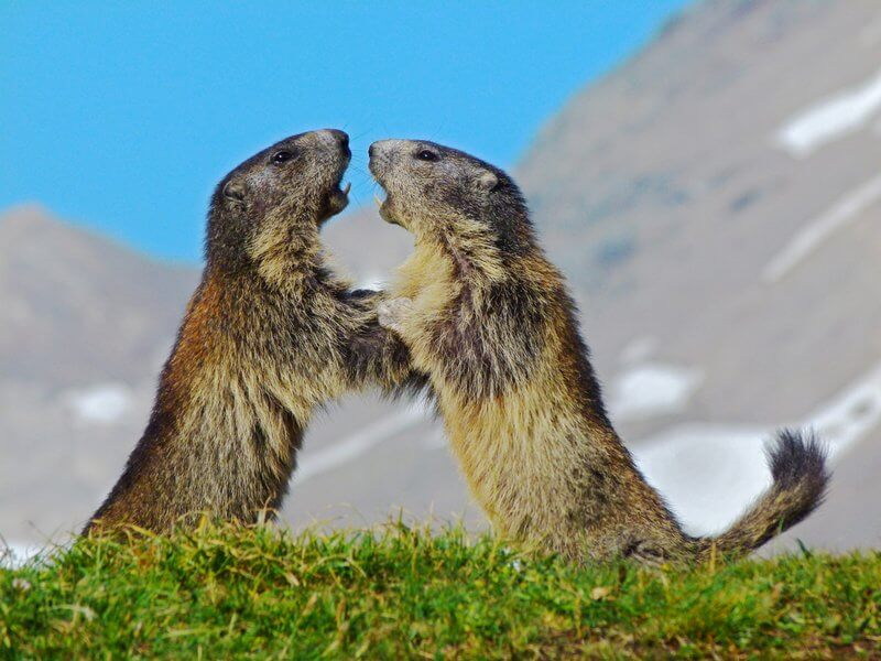 Danila Bricelj - Marmots Playing